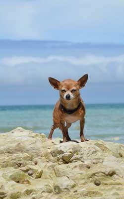 kleiner Hund Chihuahua Hundewagen